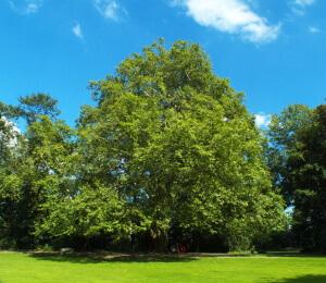 Baum Gerlinde